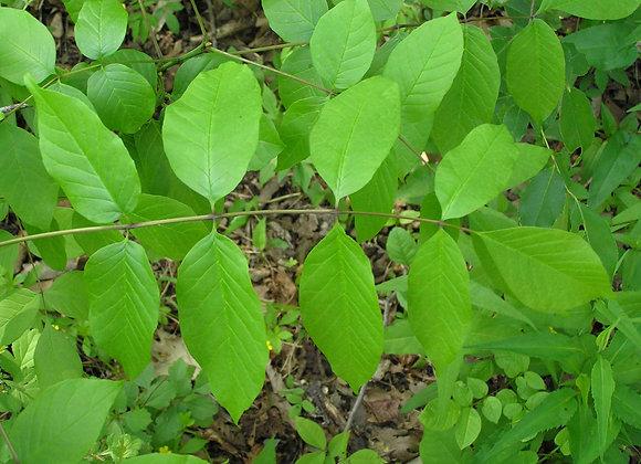 Ash Tree (White)