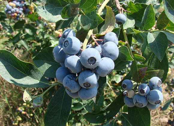 Tift Blue Blueberry