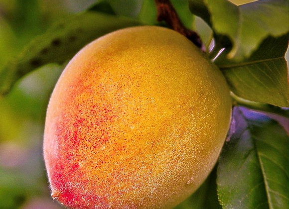June Gold Peach Tree