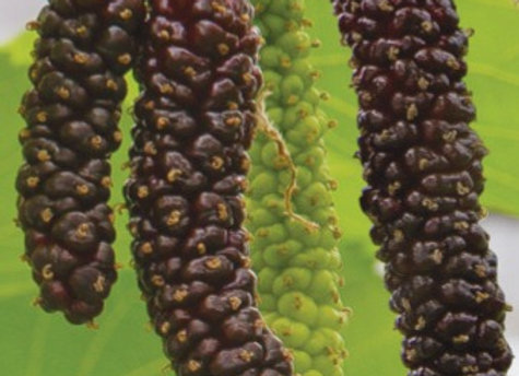 Heavy Bearing Mulberry Tree