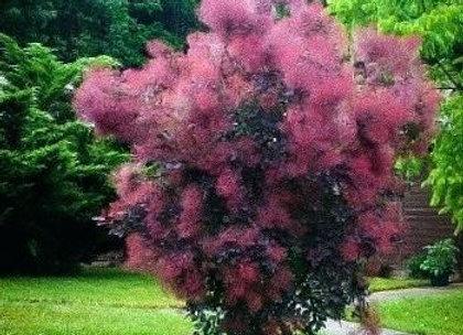 American Smoke Tree