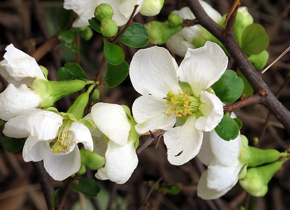 "Quince ""White"" Flowering (Rare)"