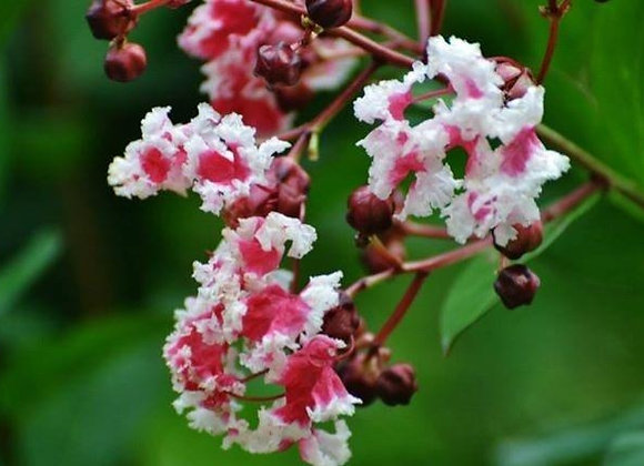 Peppermint Crepe Myrtle Tree