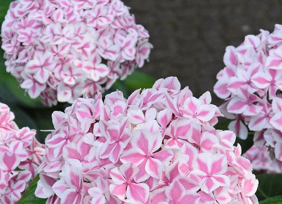 Peppermint Hydrangea
