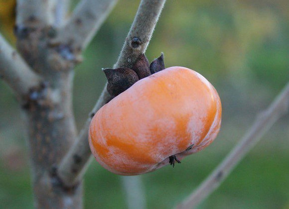 Meader Persimmon Tree (American Grafted)