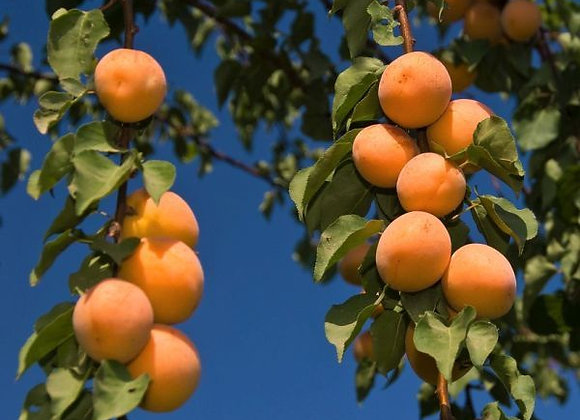 Tropic Gold Apricot Tree