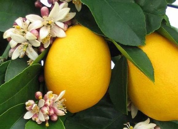 Improved 'Meyer' Lemon Tree     ( SHIPPING IN GA. ONLY )