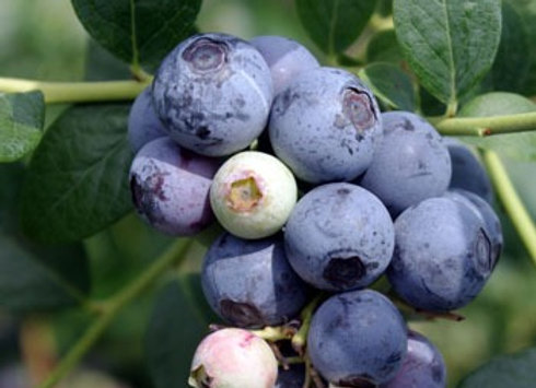'Sweetcrisp' Blueberry (Highbush)