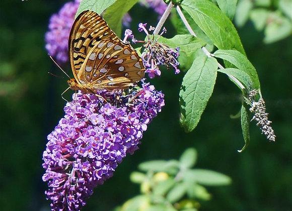 Purple Butterfly Bush