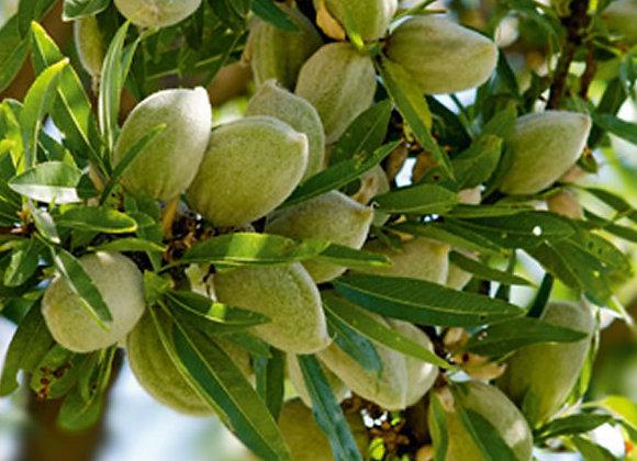 Nonpareil Almond Tree