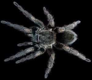 Mygale du Pérou : une araignée qui nous fera du bien ?