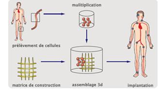 Étapes du génie tissulaire
