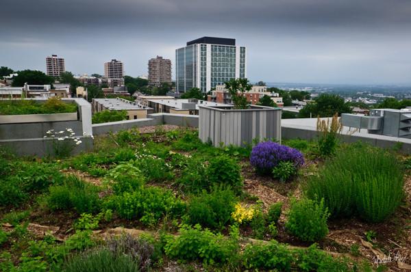 La toiture végétale du Centre Frédéric Back à Montréal. Crédit : mimilady via Flickr