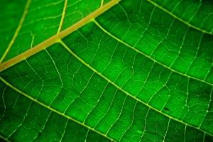 Un dérivé de la chlorophylle pour « illuminer » nos intestins ?