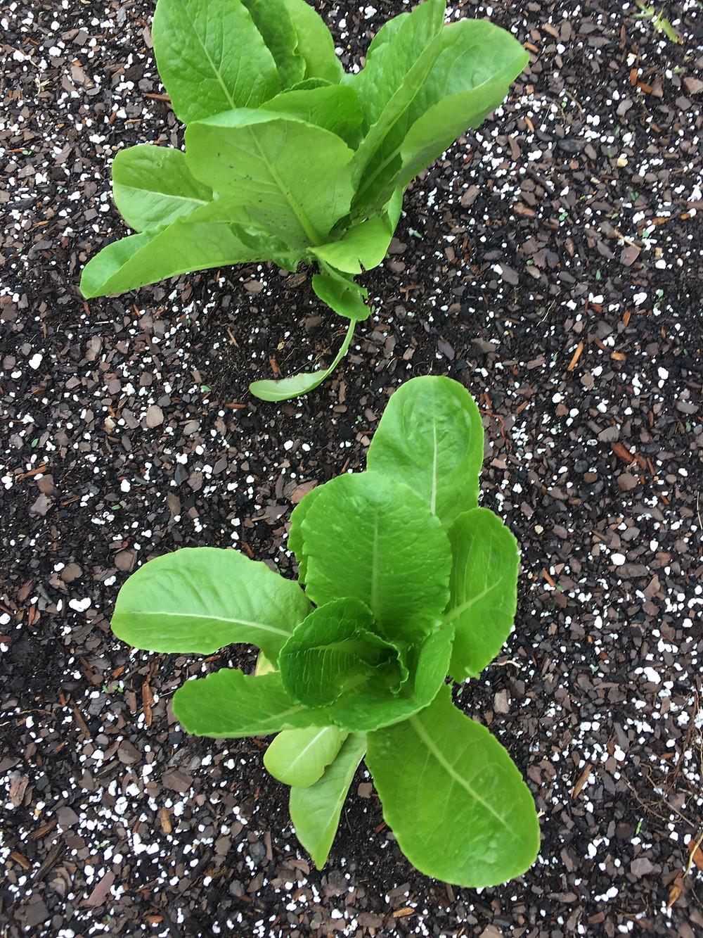 Romaine Lettuce Starter Plant
