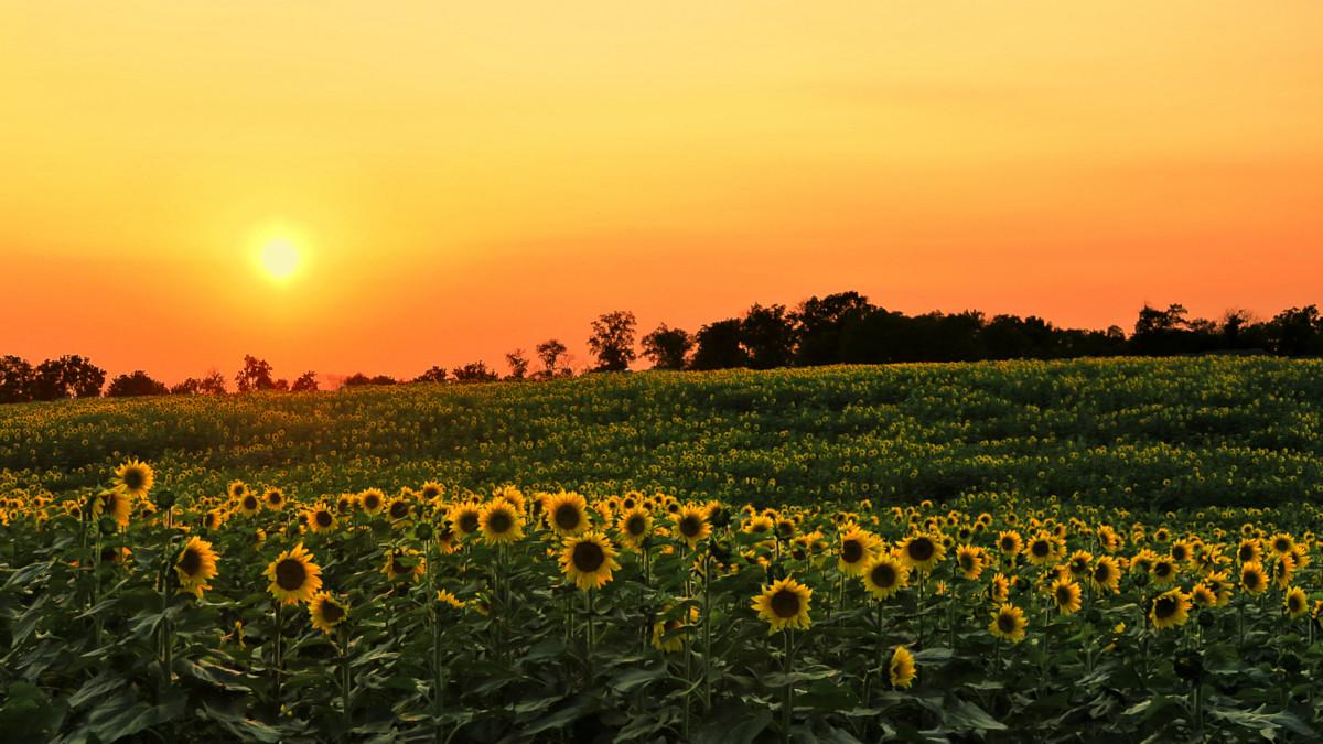 Evening In A Sunflower Field
