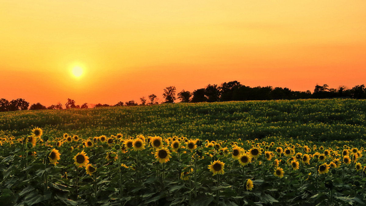 Evening In A Sunflower Field