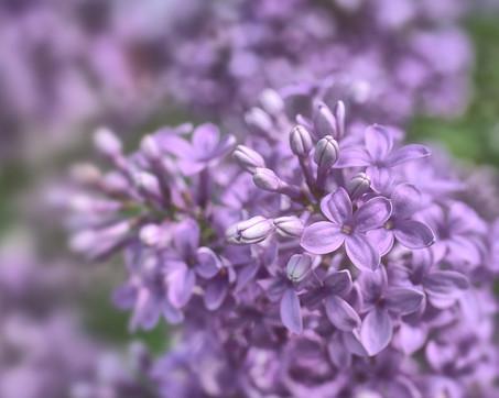 Lilacs in June