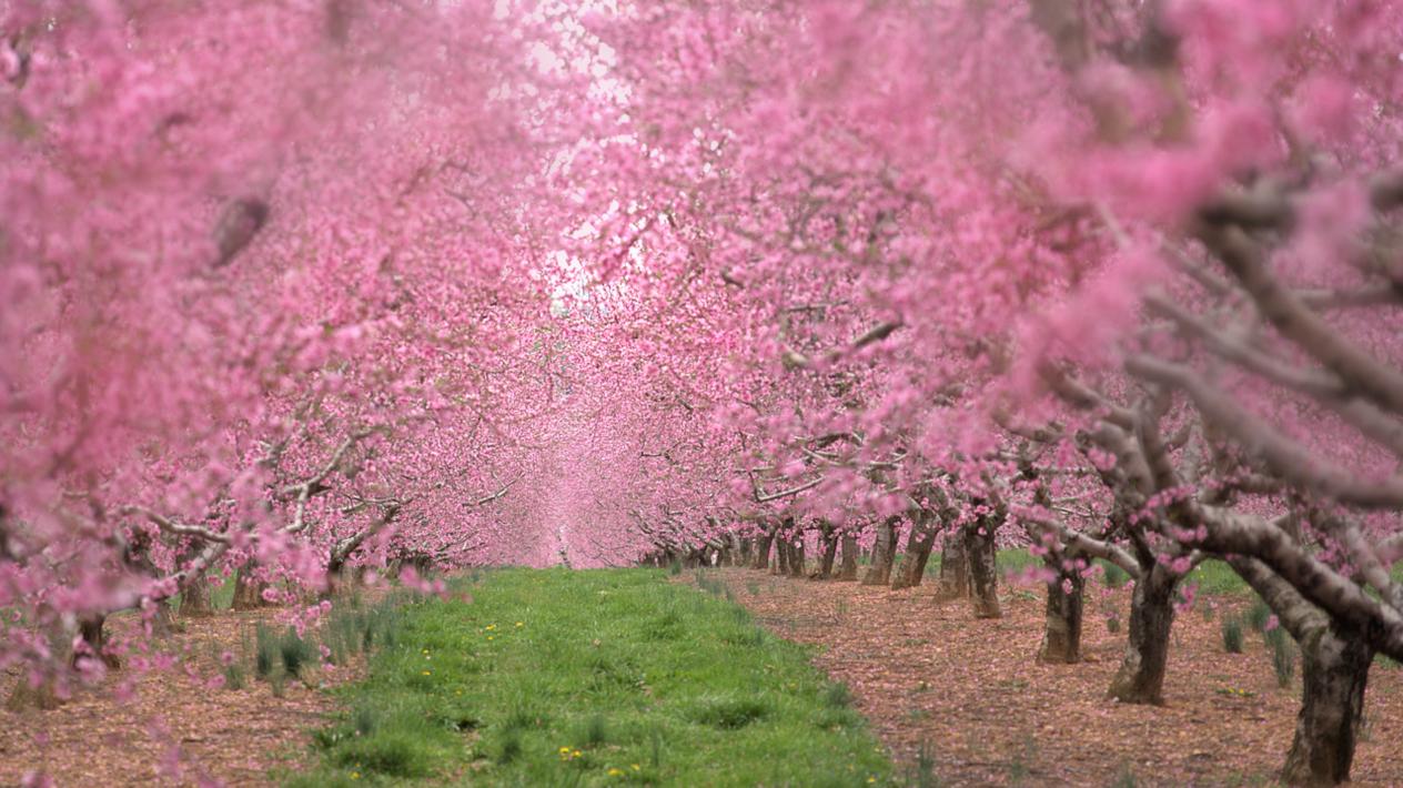 Peach Trees in April