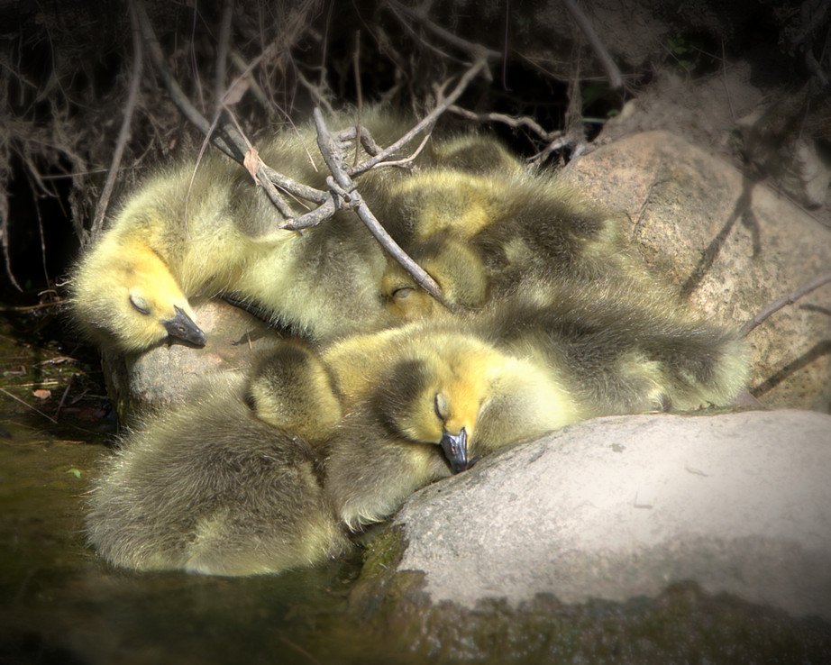 Sleeping Goslings.jpg