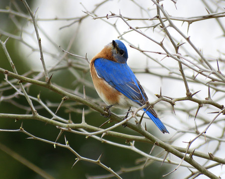 Virginia Blue Bird.jpg