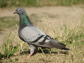 pigeon pic.jpg
