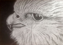 gyrfalcon charcoal drawing.jpg