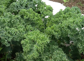 Food Stories: Part 3  KALE