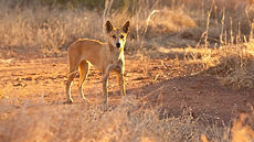 Dingo_Featured-1.jpg