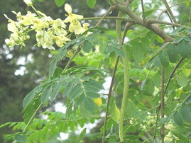 The Moringa Tree