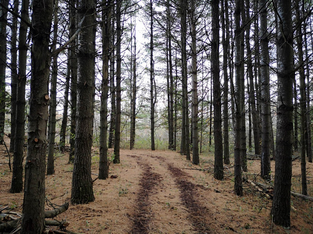 Pine Forest Trail 2