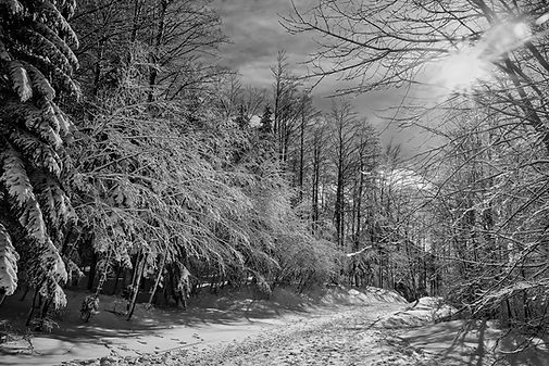 black-and-white-snow-forest.jpg