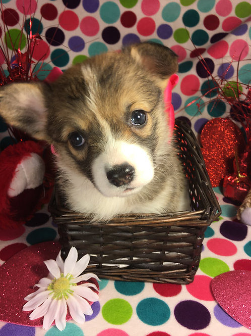 Sold AKC Pembroke Welsh Corgi
