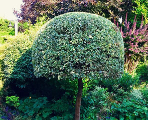 Holly Topiary.jpg