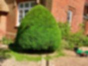 Yew Topiary.jpg
