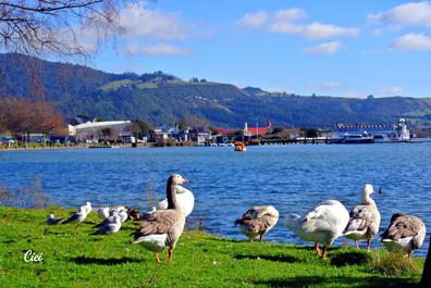 Ducks in Rotorua