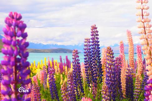 Lupin flowers at Lake Tekapo