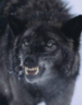dlillc-black-wolf-snarling-in-snow_a-G-1