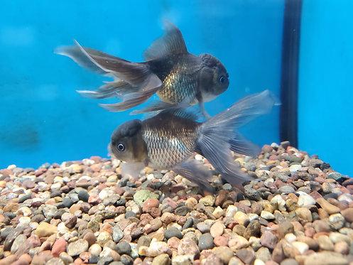 "Blue Oranda Goldfish 4-4.5"""