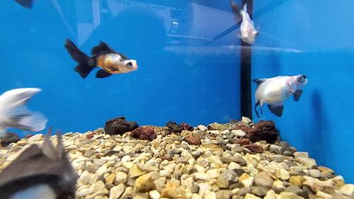 Panda Moore Goldfish