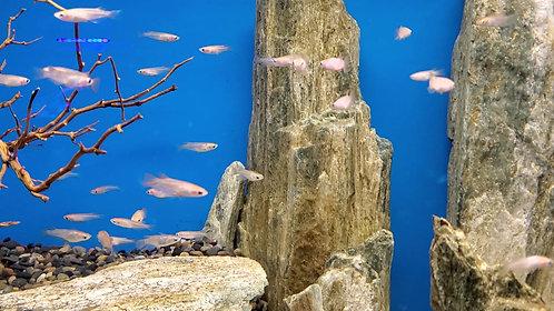Medaka  Rice Fish