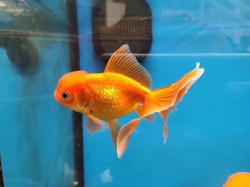 """Oranda Goldfish 4-4.5"""""""
