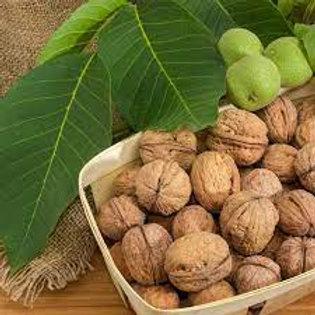 Walnut/Hazelnut Tree