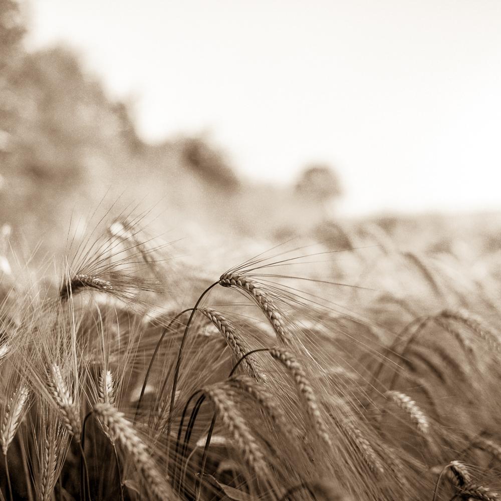 Wheat003