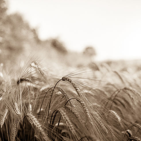 Wheat003.jpg