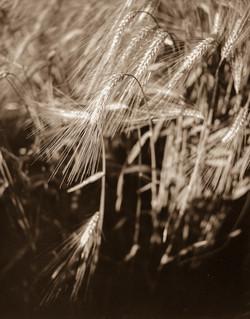 wheat4x52019-0006