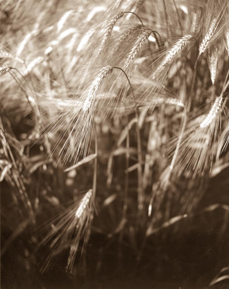 wheat4x52019-0002