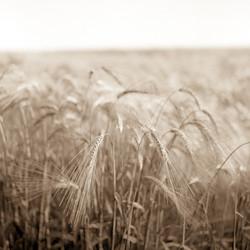 Wheat001