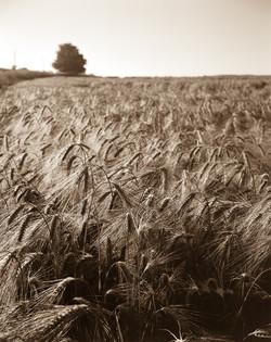 wheat4x52019-0001