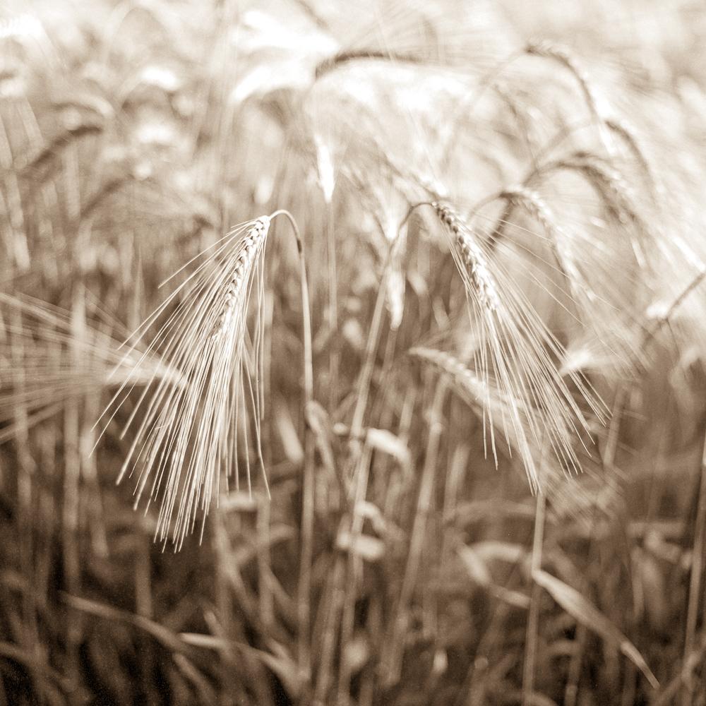 Wheat002